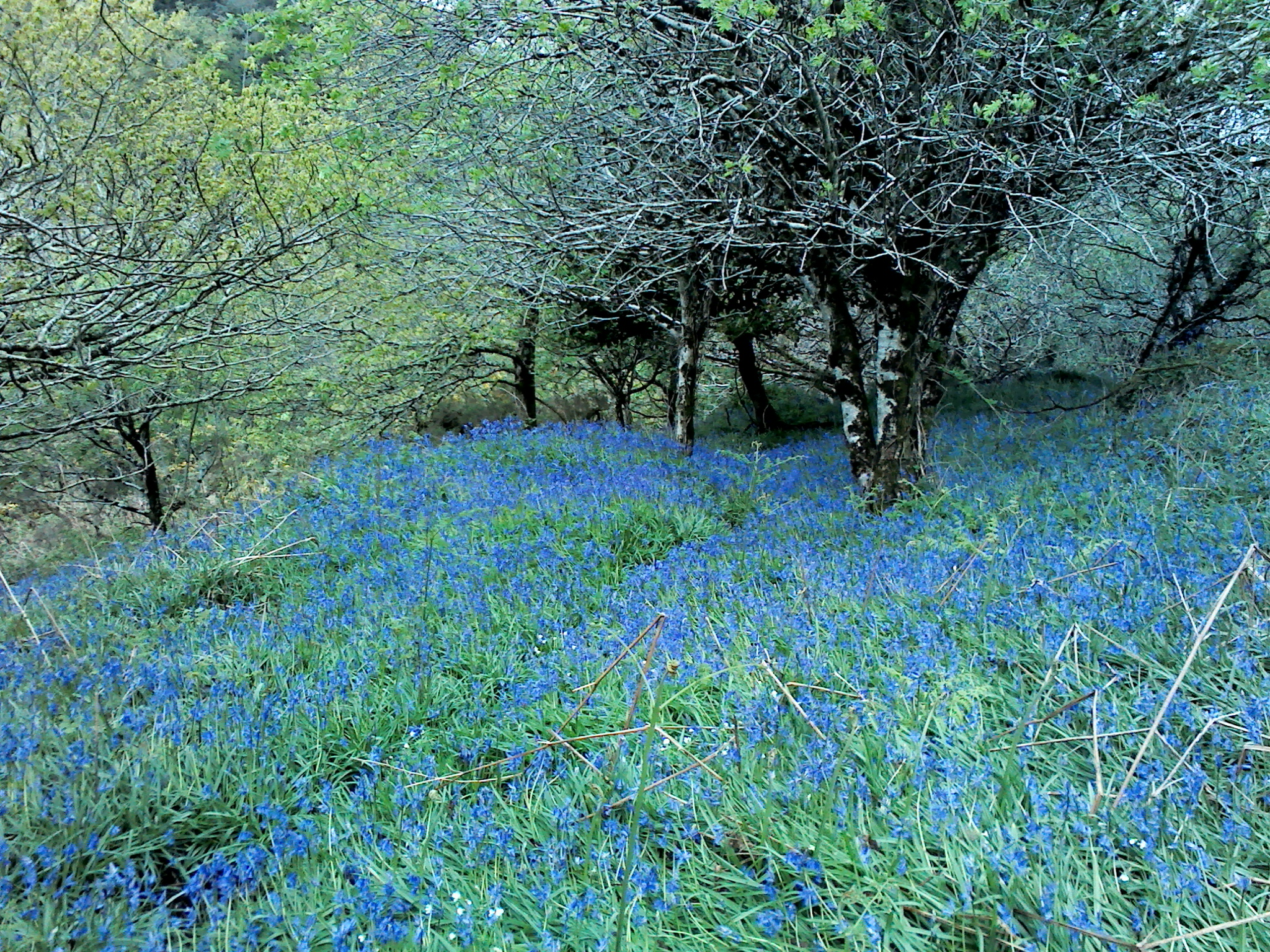 Bluebells at Yomer Wood Camping in Lee