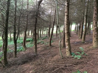 The larch woods